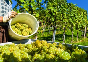 WEBINAR: WHEN PROBLEMS IN THE VINEYARD REACH THE WINE