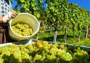 Webinar Agrovin Problemas del viñedo llegan al vino